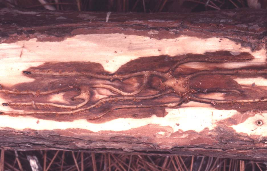beetle galleries